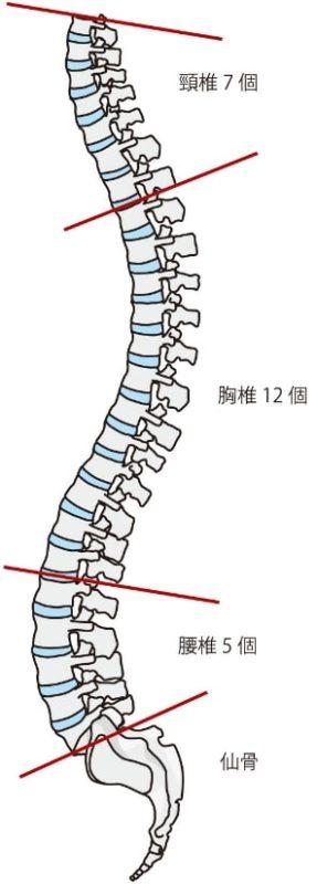 正しい脊椎のカーブ