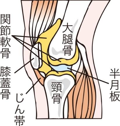 横から見た膝関節